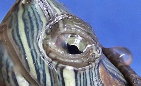 分析巴西龟白眼病怎么办