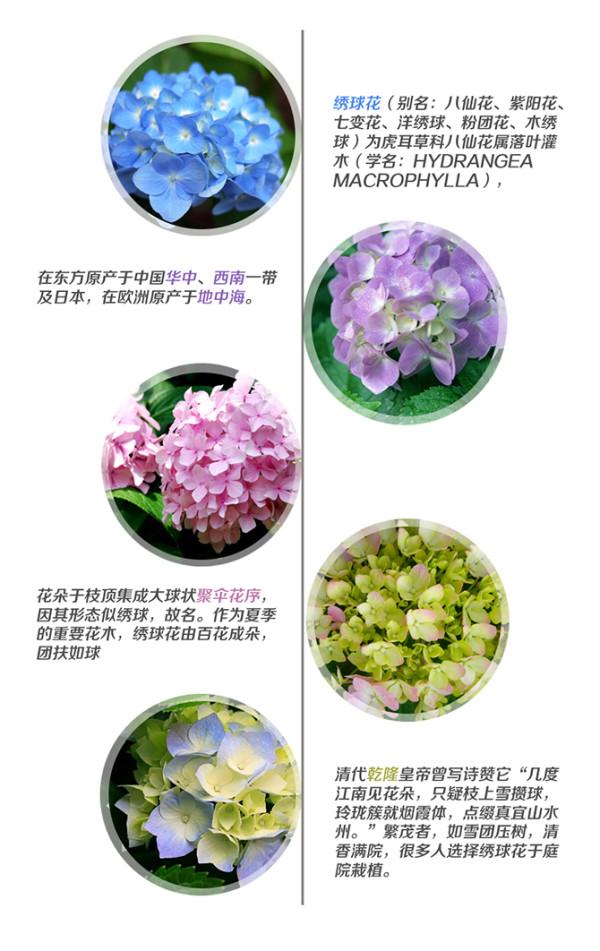 绣球花还有一个神奇的特性,被人称作花中千面女郎的它,花朵颜色会随着土壤酸碱度的不同而展现出不同的颜色,当土壤的PH值呈现酸性时,绣球花开出的花就是蓝色的,而当土壤的PH值为碱性时,开出的花就是红色的。