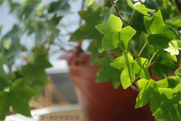 甲醛克星有:吊兰、虎尾兰、长春藤、芦荟、龙舌兰、扶郎花、菊花、绿萝、秋海棠、鸭跖草 。其中吊兰可吸收室内80%以上的有 害气体,吸收甲醛的能力超强。长春藤也能强效除甲醛、苯。