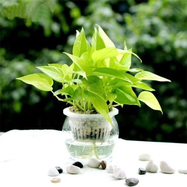 其中吊兰可吸收室内80%以上的有害气体,吸收甲醛的能力超强。长春藤也能强效除甲醛、苯。 更多知识学习可关注例外软装设计:http://www.ecphk.com/