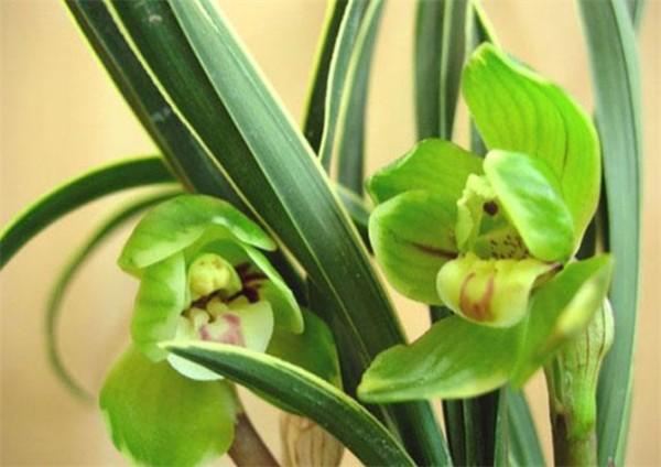 绿帝黄   这类植物有宽大的叶片,能有效地吸收大量二氧化碳,并释放出氧气,使空气倍觉清新。放置一盆在客厅,从废气充斥的马路上一回到家马上就可以呼吸到净化后的新鲜空气,是不是精神顿时为之一爽?